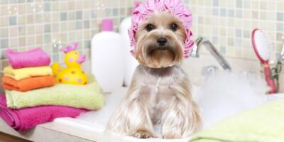 Mejor Champú para Yorkshire Terrier