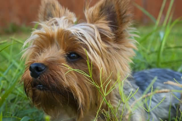 mejores pienso para Yorkshire Terrier